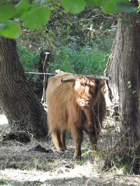 Vache angora